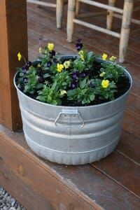 This metal tub of pansies is positioned in a sheltered spot so it won